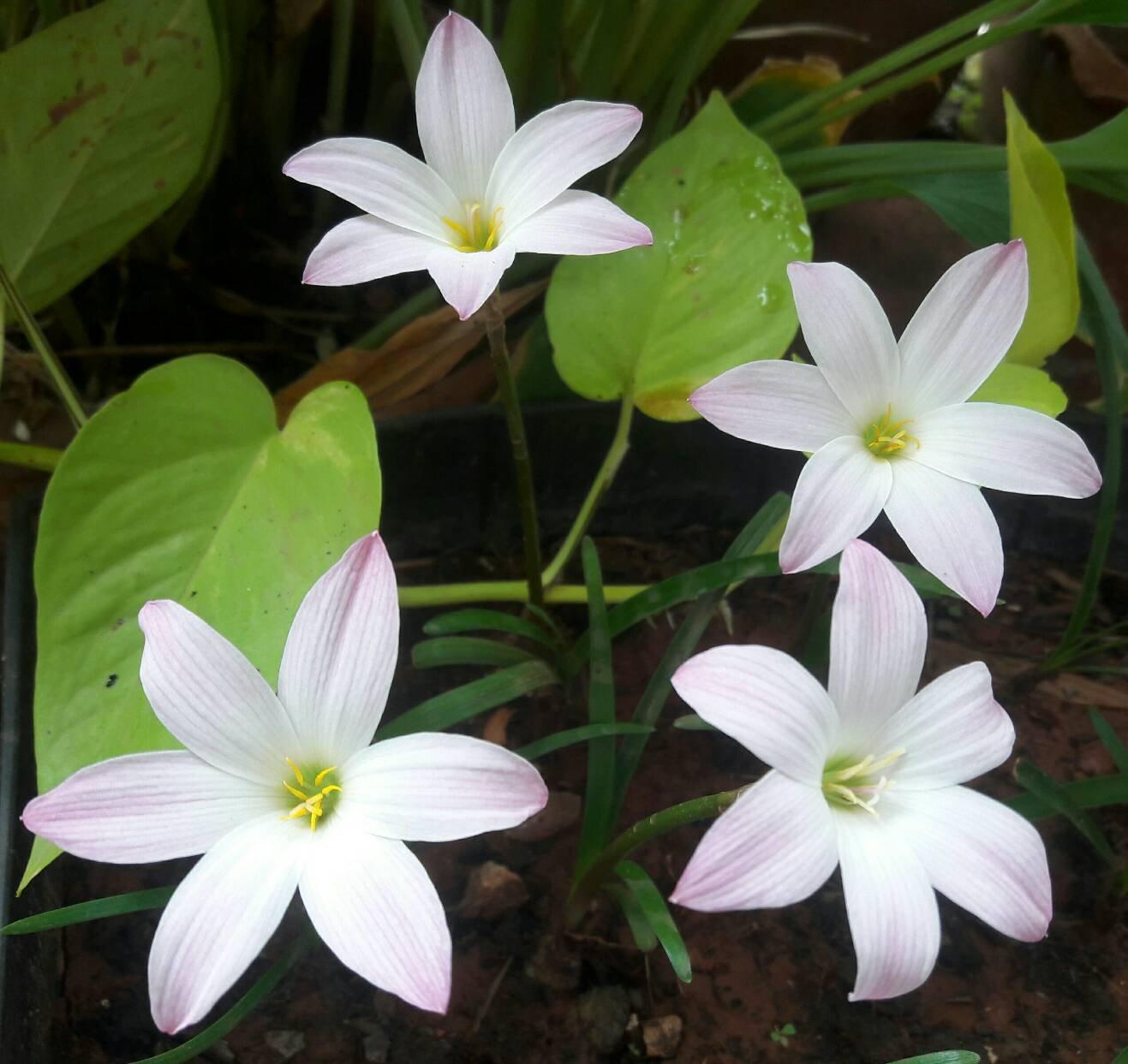 Amazon Rain Lily Bulb Zephyranthes Bubble Magic Lily
