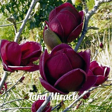 Amazon Com Rare Deep Purple Black Magnolia Yulan Tree Flower