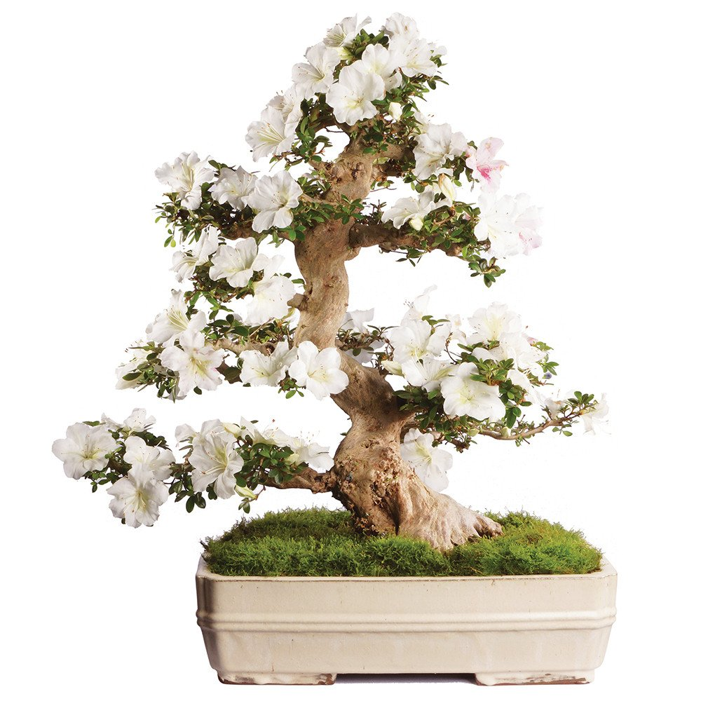 Brussel's Bonsai ST2317SA-R Azalea Specimen Bonsai