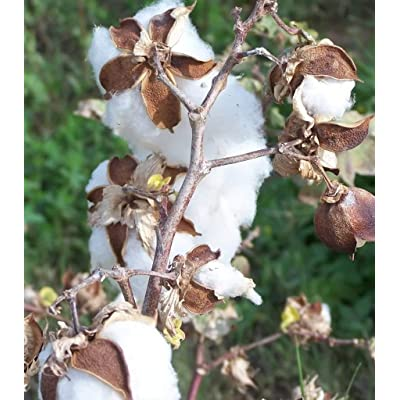 25 WHITE COTTON Gossypium Seeds : Flowering Plants : Garden & Outdoor