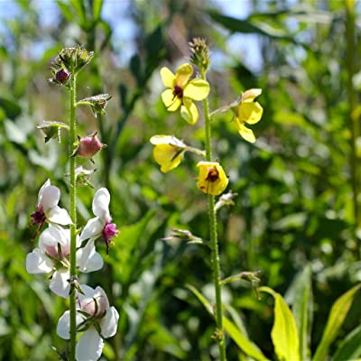 Moth Mullein Seeds (Verbascum blattaria) 100+ Medicinal Wildflower Seeds in FROZEN SEED CAPSULES for The Gardener & Rare Seeds Collector, Plant Seeds Now or Save Seeds for Years : Garden & Outdoor