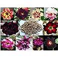 10 Sementes de Rosas do Deserto triplas, duplas e simples (Adenium obesum) Sortidas Kit nº 1