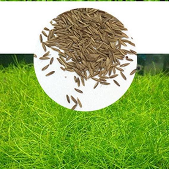 Zantec Semillas de plantas de acuario, Decoración de hierba de agua acuática como Planta de primer plano de tanque de peces de jardín