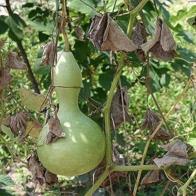 David's Garden Seeds Gourd Birdhouse SL8337 (Green) 25 Non-GMO, Heirloom Seeds : Garden & Outdoor