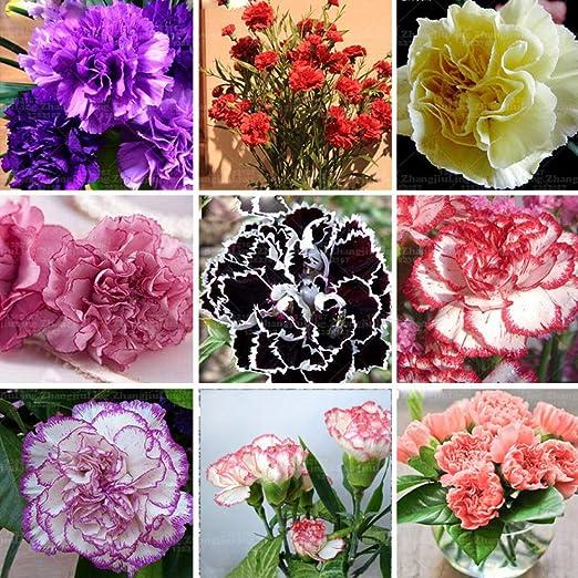 nulala 20pcs Clavel Semillas Flores perennes Maceta Plantas de jardín Dianthus Caryophyllus Semillas de flores para jardín de casa: Amazon.es: Jardín