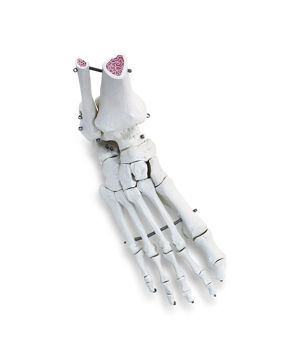 3b Scientific A31r Human Right Foot And Ankle Skeleton Model Amazon