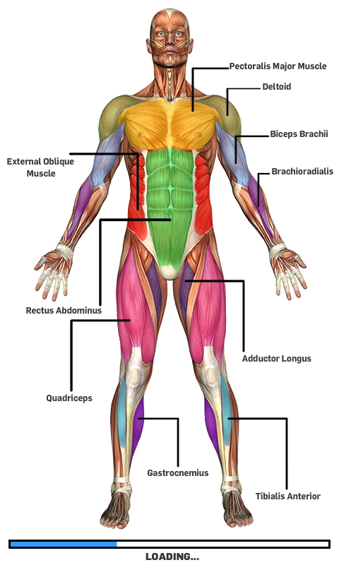 Amazon Muscular Anatomy Game Appstore For Android