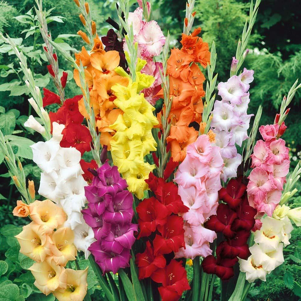 10 Humphreys Garden/® Gladioli Mixed Corms Bulbs