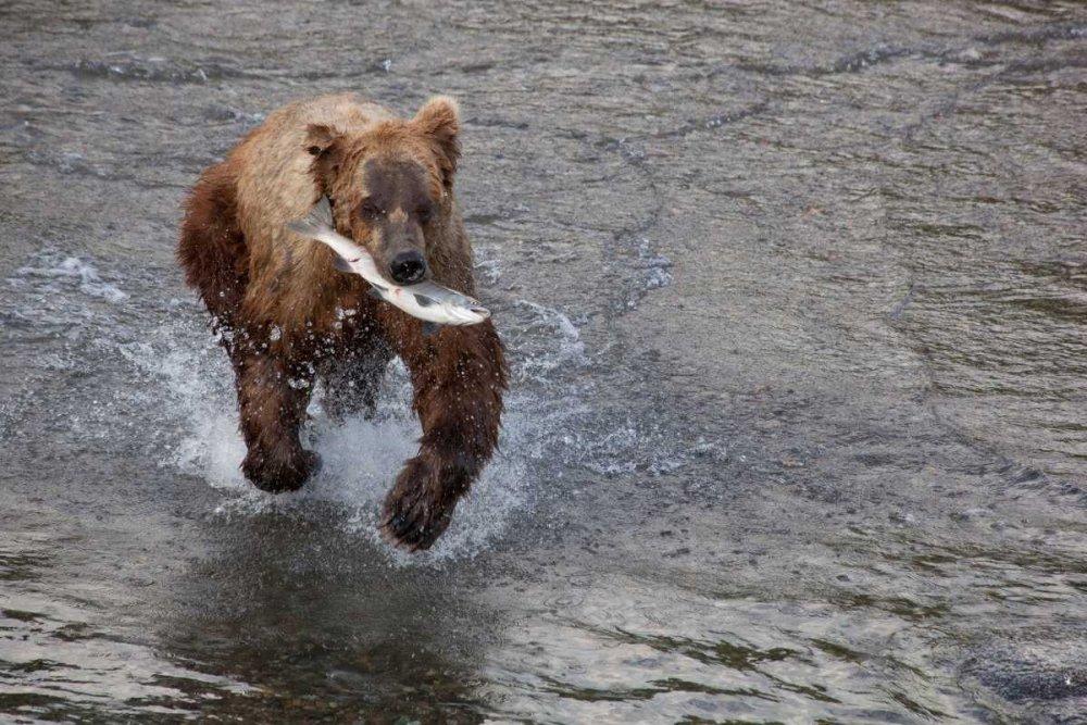 20 x 28 Grizzly Bear young male with Sockeye Salmon prey along Brooks River Katmai National Park Alaska Poster Print by Matthias Breiter