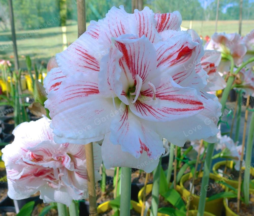 Barbados Lily vaso giardino della casa Balcone pianta bulbosa viola non Semi 2 lampadine Amaryllis Bulbi veri rosa Hippeastrum Bulbi Fiori
