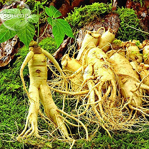 New Chinese/Korean Panax Ginseng 6+ Seeds