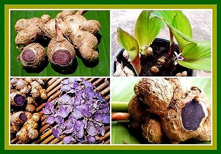 Seedstores : Kaempferia Parviflora Rare Black Ginger Krachai Dum or Tai Ginseng Rhizomes for Growing (3)