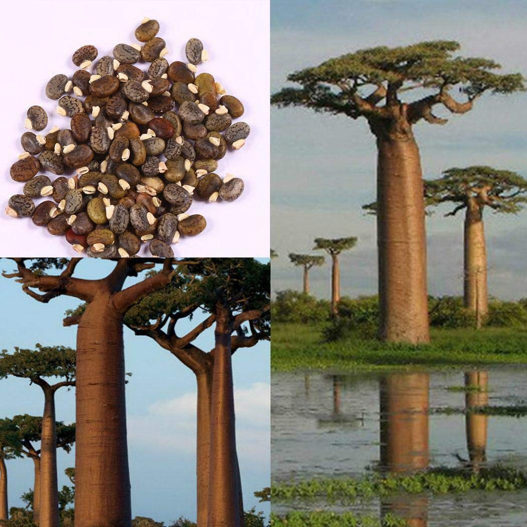 Onbio 20pcs Rare Baobab Tree Seeds Bonsai Planting Home Farm Garden Trees