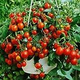 Busch Tomaten Pflanze  Lycopersicon esculentum L Gemüse Pflanze//1stk.