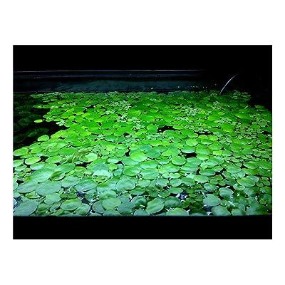 10 Frogbit, Live Aquarium/Aquatic/Pond/Floating Plant : Garden & Outdoor