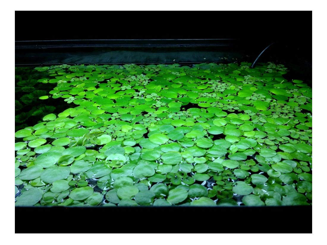 10 Frogbit, Live Aquarium/Aquatic/Pond/Floating Plant