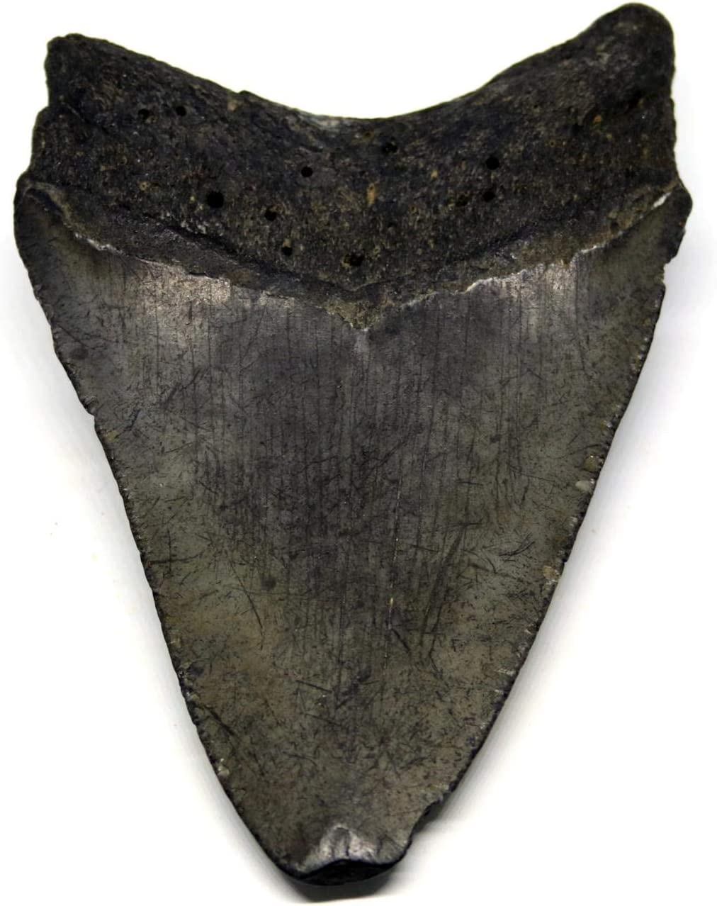 Megalodon Tooth Fossil Shark 3.837 inches Up to 25 Million Years Old #15584 11o