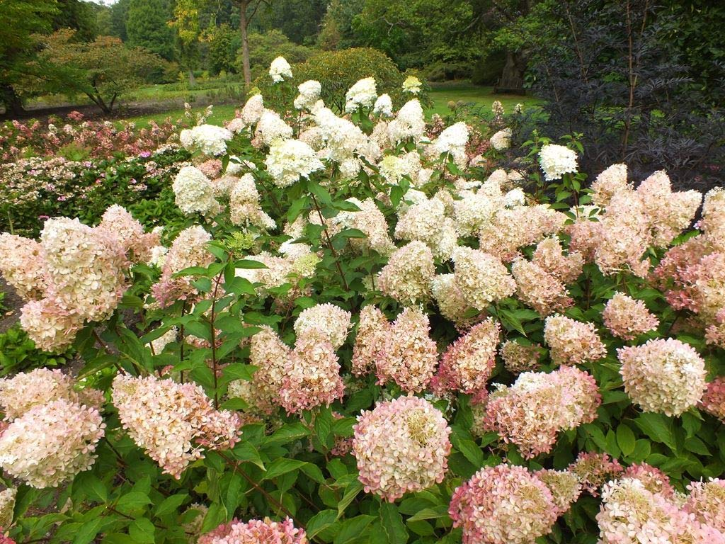 Hydrangea paniculata Phantom, 3 Plants in 9cm Pots IR Plant and Garden Centre