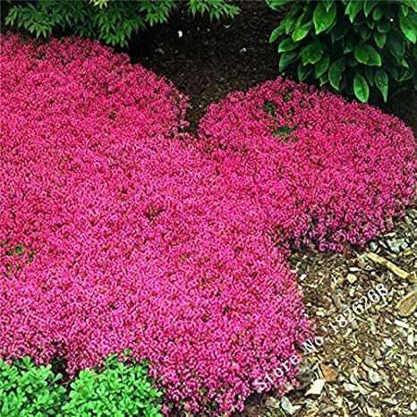 pasarelas aut/énticas semillas de tomillo rastrero semillas de flores patios 100 pedazos // bolso jardines de rocas perfecto para la frontera de la flor