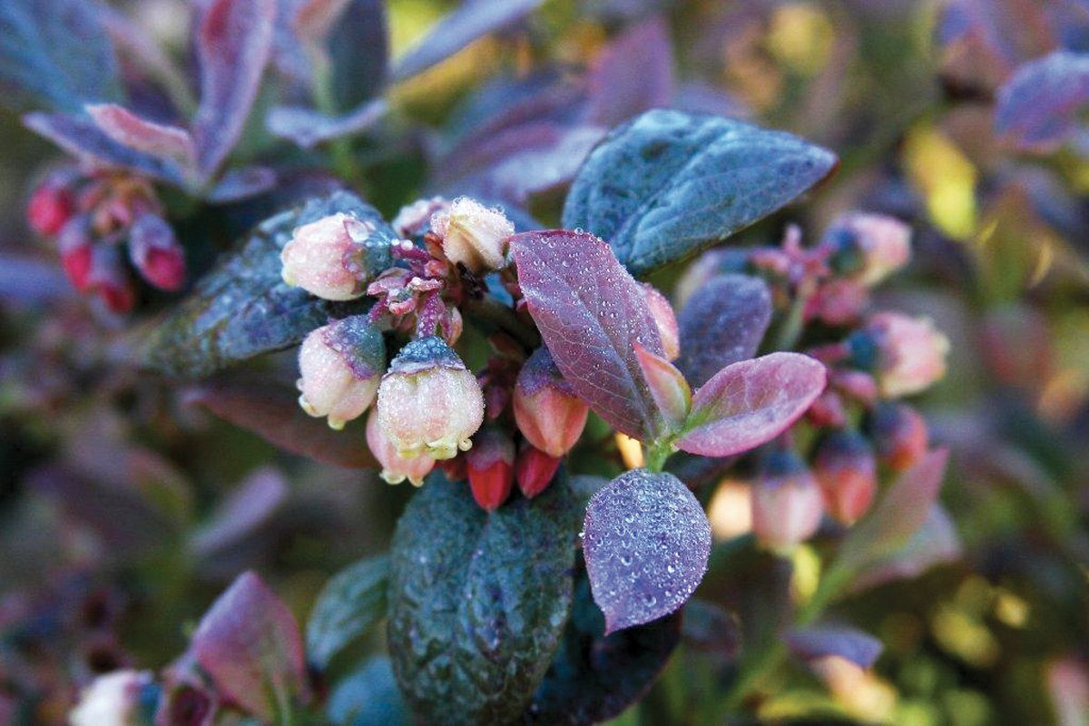 Bushel and Berry - Vaccinium Pink Icing (Blueberry) Edible-Shrub, , #2 - Size Container by Green Promise Farms (Image #5)