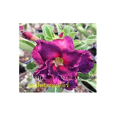 Succulent Desert Rose Plant, adenium no52 Black broader, USA : Garden & Outdoor