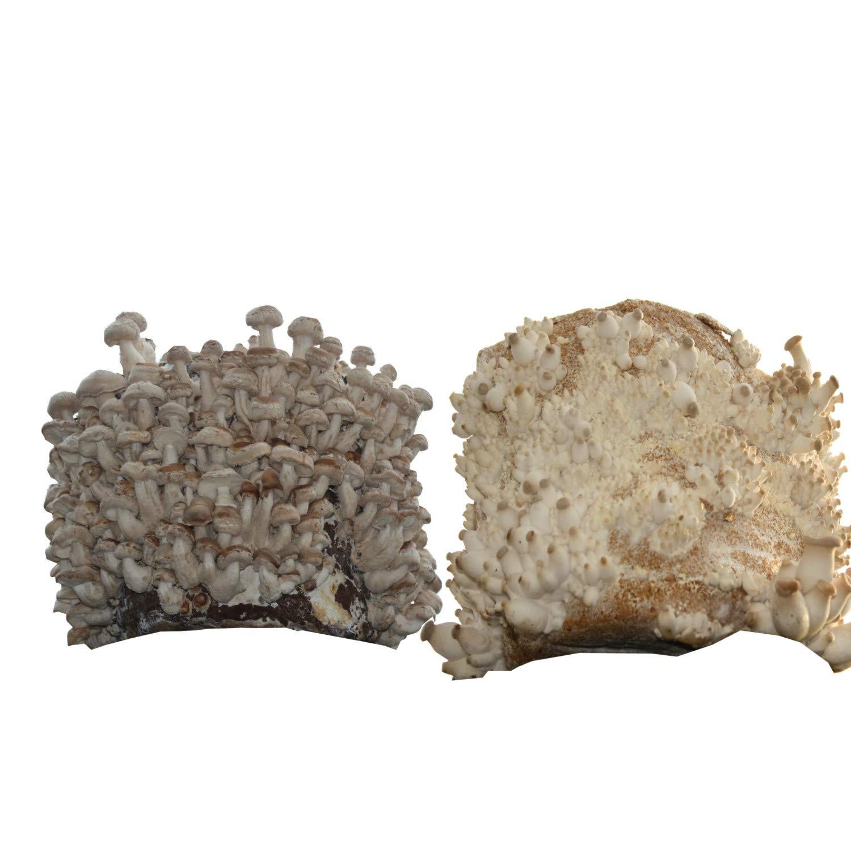 Hawlik Pilzbrut - das Orginal - Bio-Edel-Pilz-Mix - 2 Kulturen zum selber züchten - kinderleicht frische Pilze ernten Hawlik Pilzbrut GmbH
