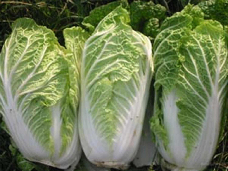 Rare Chinese Cabbage Granat - Pomegranate Seeds Russian Heirloom NON-GMO