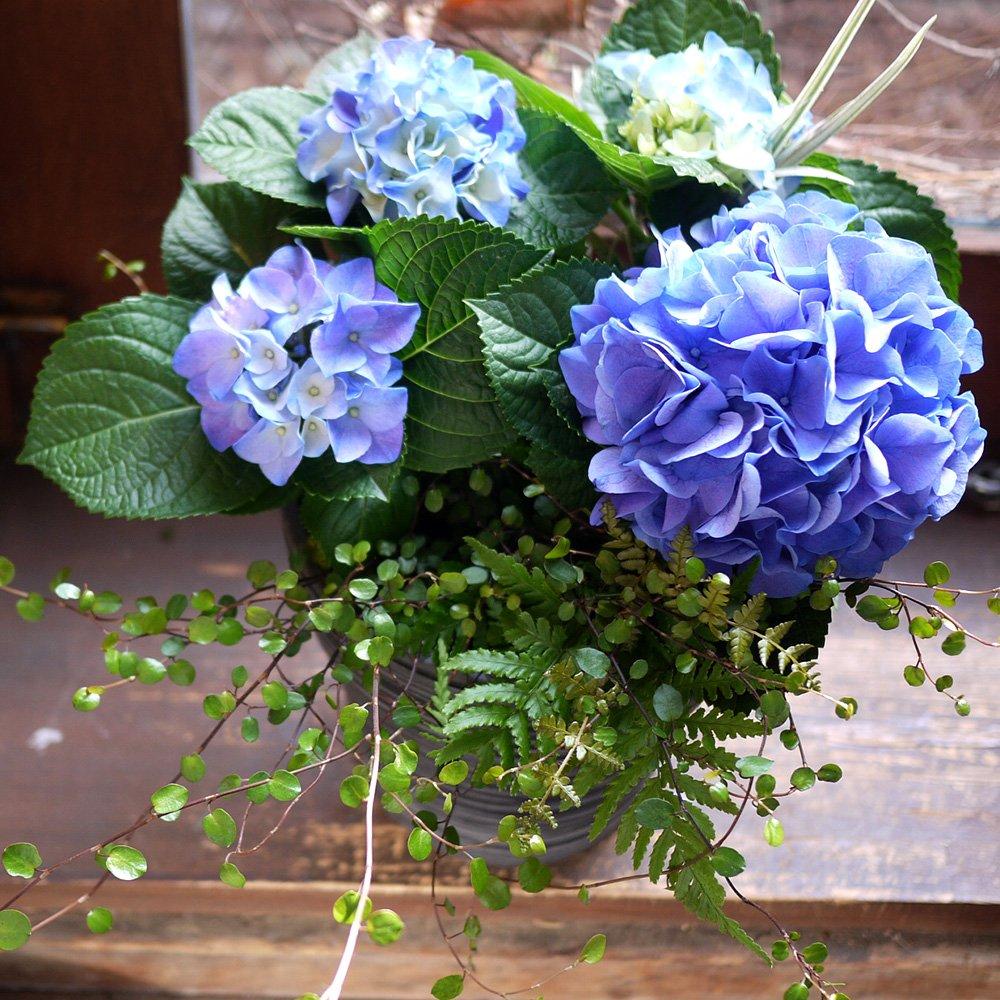 母の日 花 紫陽花 アジサイ鉢 フラワーギフト 生花 あじさいとグリーンのアレンジメント B07BVB49X6