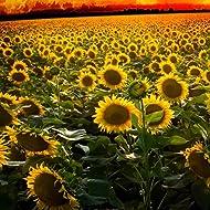 Outsidepride Wild Sunflower Plant Flower Seeds - 1000 Seeds
