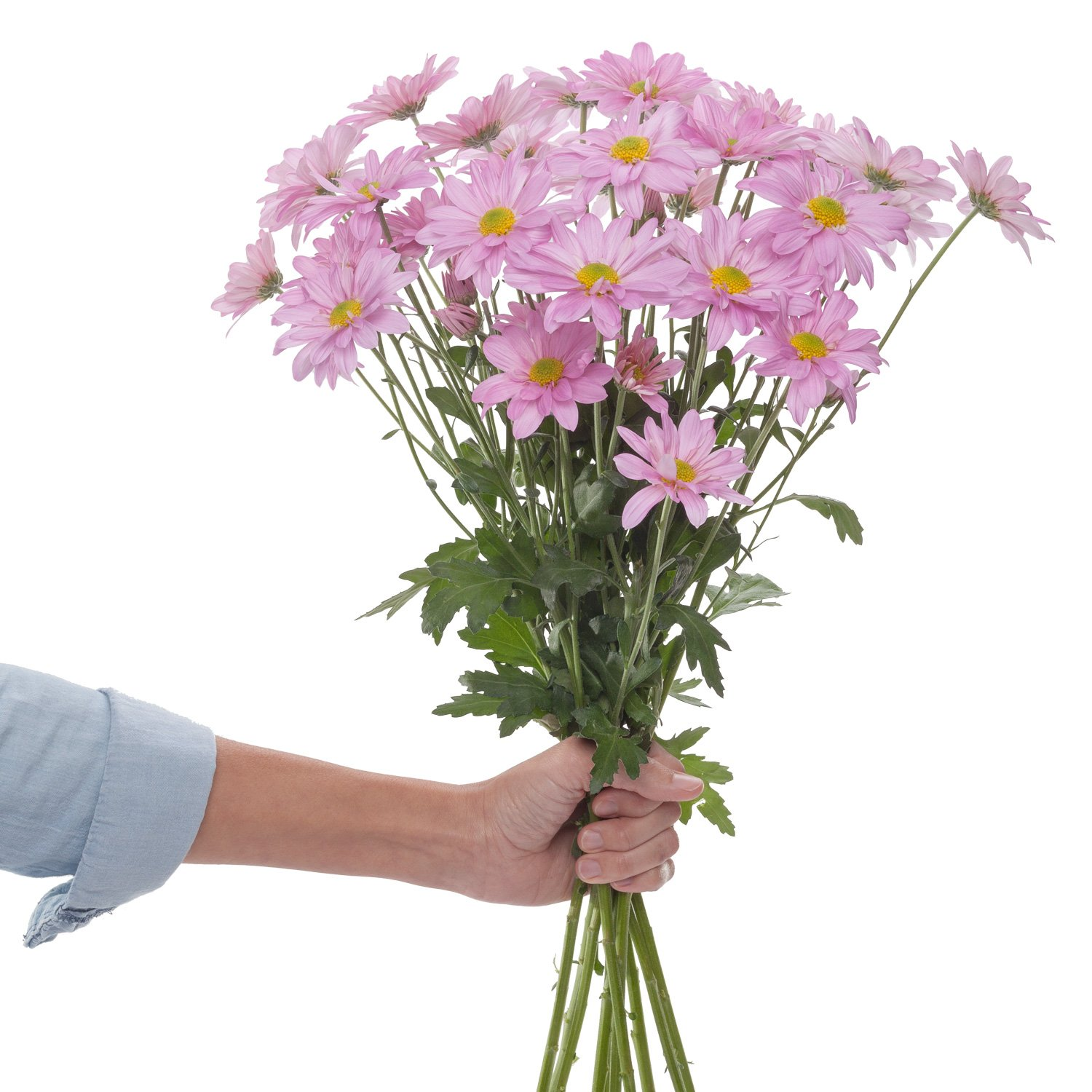 Chrysanthemums | Pink - 60 Stem Count by Flower Farm Shop
