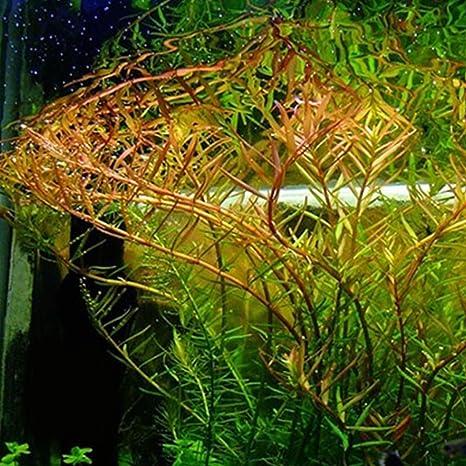 SSXY Tanque de Peces de Acuario Agua Hierba Semilla, Planta acuática Semilla Alfombra Plantas Semilla