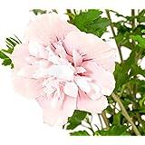 """Dehner Hibiscus""""Pink Chiffon"""", rosa-farbene Blüten, ca. 40-60 cm, ca. 3 L Topf, Zierstrauch"""