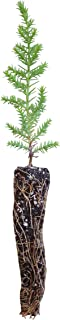product image for Santa Cruz Cypress | Small Tree Seedling | The Jonsteen Company