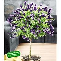 BALDUR-Garten Lavendelstämmchen mit Krone Lavandula für Balkon & Terrasse Duftlavendel