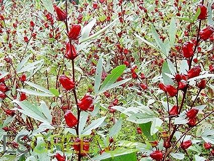 Amazoncom 10 Seeds Jamaican Sorrel Seeds Aka Florida Cranberry