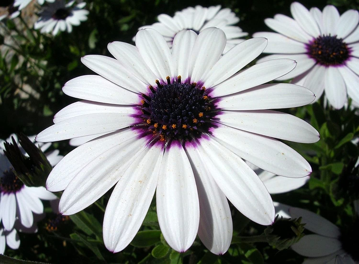 Amazon Heirloom 120 Seeds Osteospermum African Daisy Sky And