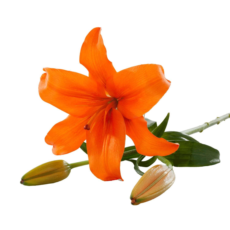 Asiatic Lilies   Orange - 20 Stem Count