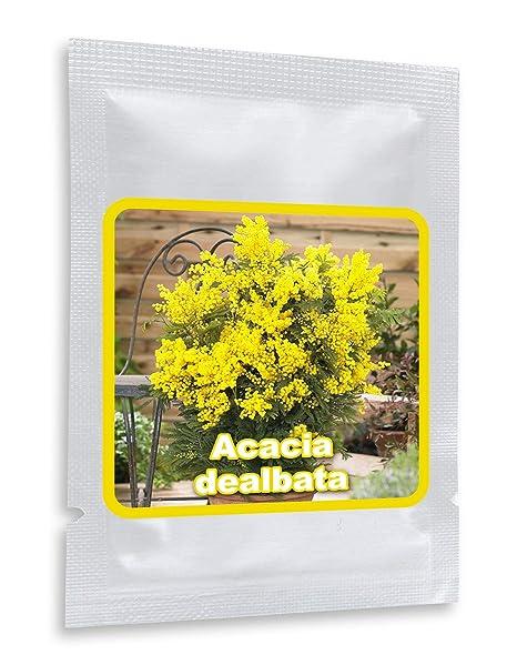 25 Graines De Mimosa D Hiver Acacia Dealbata Un Noble Plante Mediterraneen Pour Maison Jardin Terrasse Et Balcon