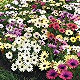 Osteospermum - Akila Grand Canyon Mix - Flower Seeds - 50 Seeds