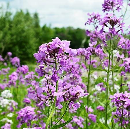 SWEET ROCKET SEEDS HESPERIS MATRONALIS SEED FLOWER POT PATIO GARDEN 300 SEEDS