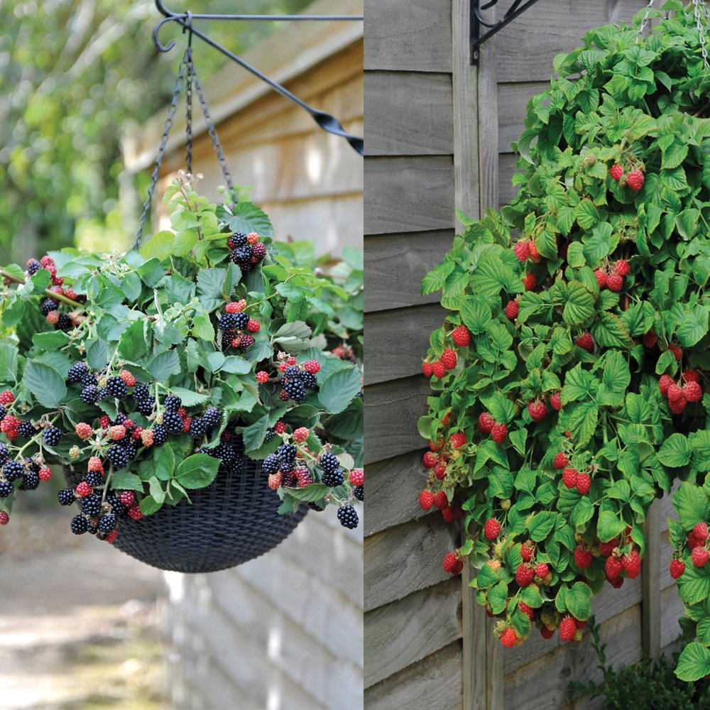Garden Hanging Basket Berry Fruit Collection Producing High Yield of Juicy Trailing Berries1 x Raspberry Ruby Falls & 1 x BlackBerry Black Cascade in 9cm Pots by Thompson & Morgan