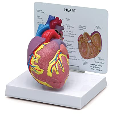 Heart Model | Human Body Anatomy Replica of Normal Heart for Doctors Office Educational Tool | GPI Anatomicals: Industrial & Scientific