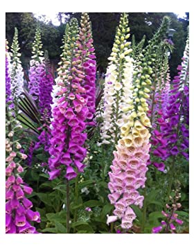 Image result for foxglove