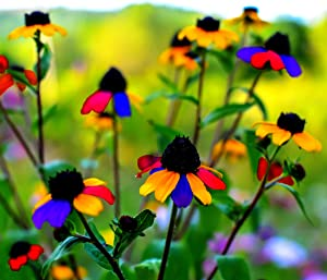 5G Multicolored Susan Seeds Attracts Butterflies Plant in Your Flower Garden