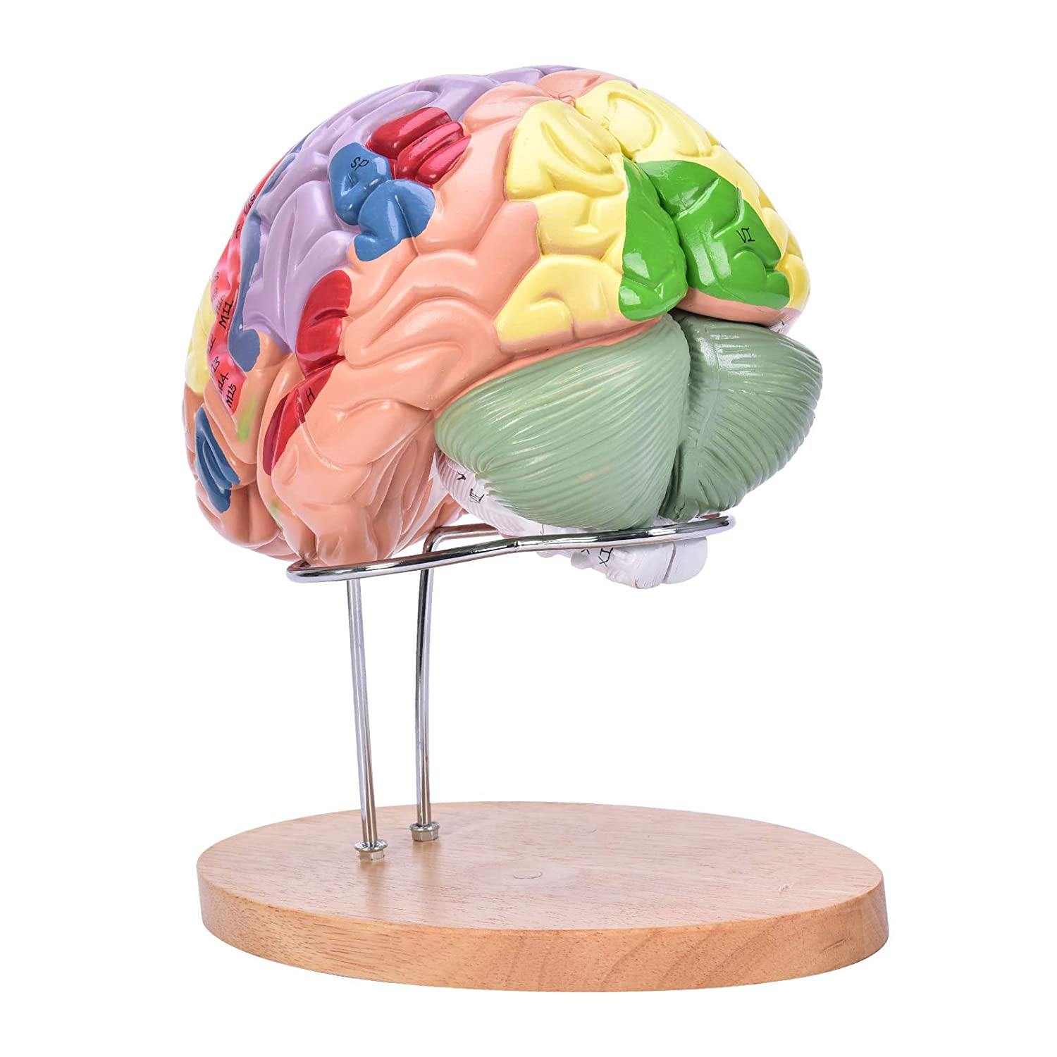 Bavnnro Human Brain Model with Labels Human Regional Brain Model Cerebral Cortex Nerve 4 Parts and A Support for Learning Science Classroom Study Display Medical Model