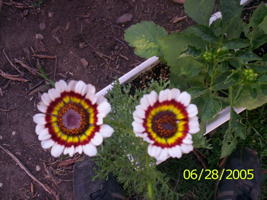 Amazon 250 Tricolor Painted Daisy Pyrenthrum Daisy