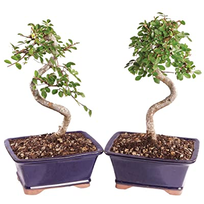 """Brussel's Live Chinese Elm Outdoor Bonsai Tree (2 Pack) - 5 Years Old; 6"""" to 8"""" Tall with Decorative Container: Garden & Outdoor"""