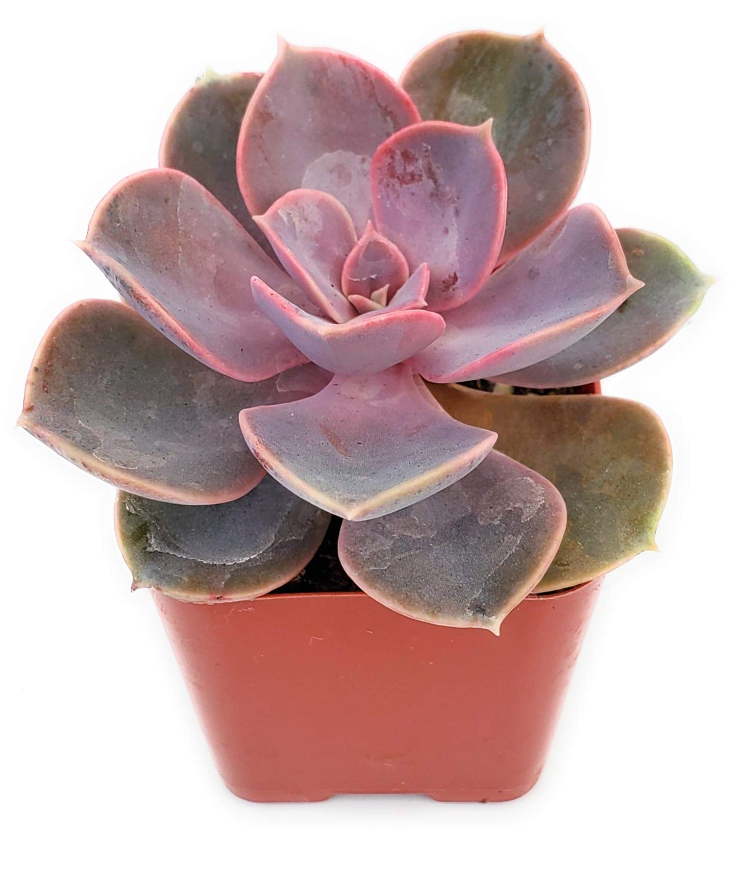 Fat Plants San Diego Live Echeveria Succulent Plant in a 4 inch Plastic Growers Pot (2 inch, Perle von Nurnberg)