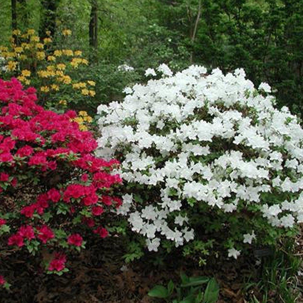 1 X WHITE AZALEA JAPANESE EVERGREEN SHRUB HARDY GARDEN PLANT IN POT Gardener's Dream