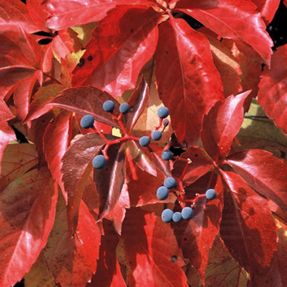 Boston Ivy Virginia Creeper Climbing Plant Easy to Grow Climber Fully Hardy and Fast Growing, Suitable for Beginners 1 x Parthenocissus Quinquefolia in a 2 Litre Pot by Thompson and Morgan THOMPSON & MORGAN